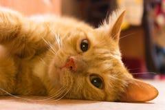 Tysta ned av en röd katt i inre i varma färger royaltyfri bild