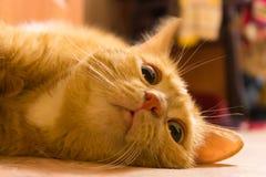 Tysta ned av en röd katt i inre i varma färger royaltyfria bilder