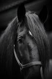 Tysta ned av en svart häst Royaltyfri Foto