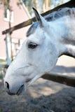 Tysta ned av en vit häst Royaltyfri Bild