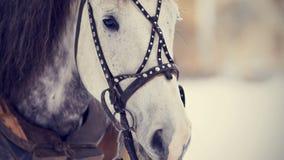 Tysta ned av en vit häst i en sele Arkivbild