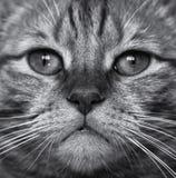 Tysta ned av ett kattslut upp R?d katt Svartvit bild arkivbilder