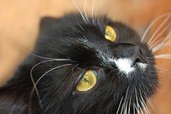 Tysta ned av svart ilsken katt Arkivfoton
