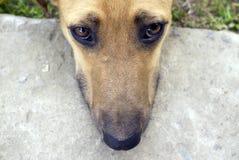 Tysta ned av ung hund Arkivbild