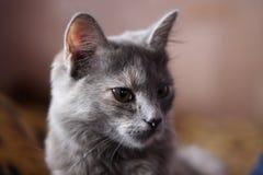 Tysta ned den gråa katten Royaltyfria Bilder