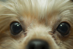 Tysta ned den Yorkshire terriern, närbild Arkivfoton