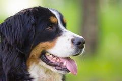 Tysta ned hunden för det Bernese berget royaltyfri fotografi