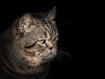Tysta ned katten av den skotska avelnärbilden på svart Royaltyfri Foto
