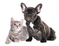 tystar ned den täta half kattungen för bakgrund ståendevalpen upp white Royaltyfri Foto