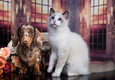tystar ned den t?ta half kattungen f?r bakgrund st?endevalpen upp white royaltyfri foto