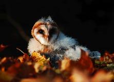 Tyto alba Stock Photography