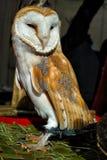 Tyto alba Стоковые Изображения RF
