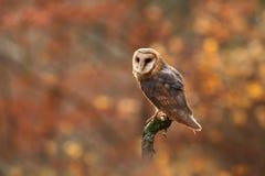 Tyto alba. Autumn nature. Wild nature of Czech. Owl in autumn nature. Royalty Free Stock Photos