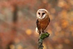 Tyto alba. Autumn nature. Wild nature of Czech. Owl in autumn nature. Royalty Free Stock Image