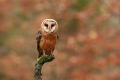 Tyto alba. Autumn nature. Wild nature of Czech. Owl in autumn nature. Royalty Free Stock Photography