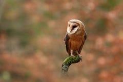Tyto alba. Autumn nature. Wild nature of Czech. Owl in autumn nature. Stock Photo