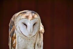 Tyto alba Stock Photo