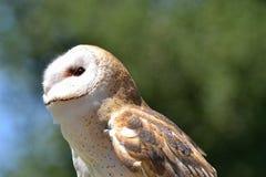 Tyto alba Royalty Free Stock Image
