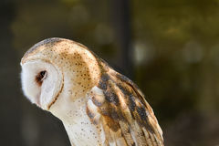 Tyto alba Stock Images