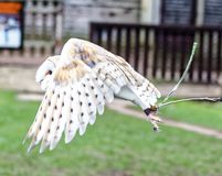 Barn owl in flight. Tyto alba is the most widely distributed species of owl and one of the most widespread of all birds. It is also referred to as the common royalty free stock photo