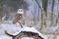 Tyto alba on stem Stock Images