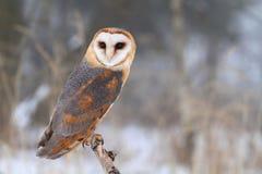 Tyto alba in winter Stock Photo
