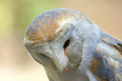 Tyto comum da coruja de celeiro alba imagens de stock royalty free