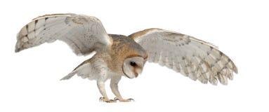 tyto för owl för 4 alba ladugårdflygmånader gammal Royaltyfri Fotografi