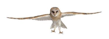 tyto för stående för owl för 4 alba ladugårdmånader gammal Arkivfoton