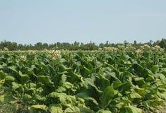 tytoń pola Zdjęcia Stock