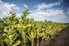 Tytoniu gospodarstwo rolne Zdjęcie Stock