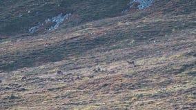 Tytuł: czerwonego rogacza łanie i jelenia odprowadzenie na skłonie w cairngorms parku narodowym podczas rutting sezonu zbiory