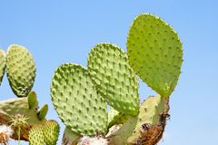 Tzabar cactus, or prickly pear Royalty Free Stock Images