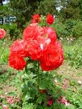 Tzigane Rosa Foto de Stock