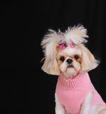 tzu σκυλιών shih στοκ φωτογραφία με δικαίωμα ελεύθερης χρήσης