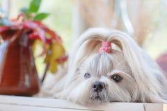 tzu σκυλιών shih Στοκ Εικόνες