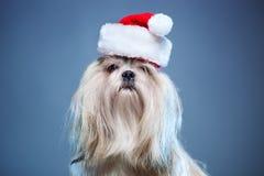 tzu σκυλιών shih Στοκ Φωτογραφία