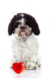 Tzu de Shih d'isolement sur le chien et le coeur blancs de fond Photos stock