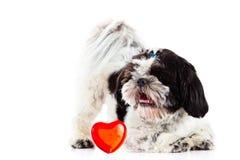Tzu de Shih sur le chien et le coeur blancs de fond Photo stock
