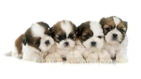Tzu del shih de los perritos Fotos de archivo