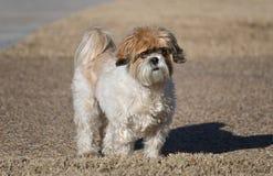 tzu dello shih del cane Fotografie Stock Libere da Diritti