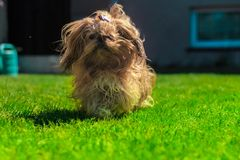 Tzu divertido del shih del perro jugando en verde foto de archivo