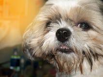 tzu do shi do cão Imagens de Stock