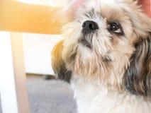 tzu do shi do cão Imagens de Stock Royalty Free