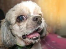 tzu do shi do cão Fotos de Stock