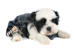 Tzu do shih do cachorrinho Imagens de Stock