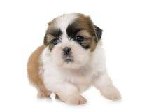 Tzu do shih do cachorrinho Fotos de Stock