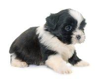 Tzu do shih do cachorrinho Fotografia de Stock