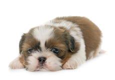 Tzu do shih do cachorrinho Fotografia de Stock Royalty Free