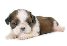 Tzu do shih do cachorrinho Fotos de Stock Royalty Free